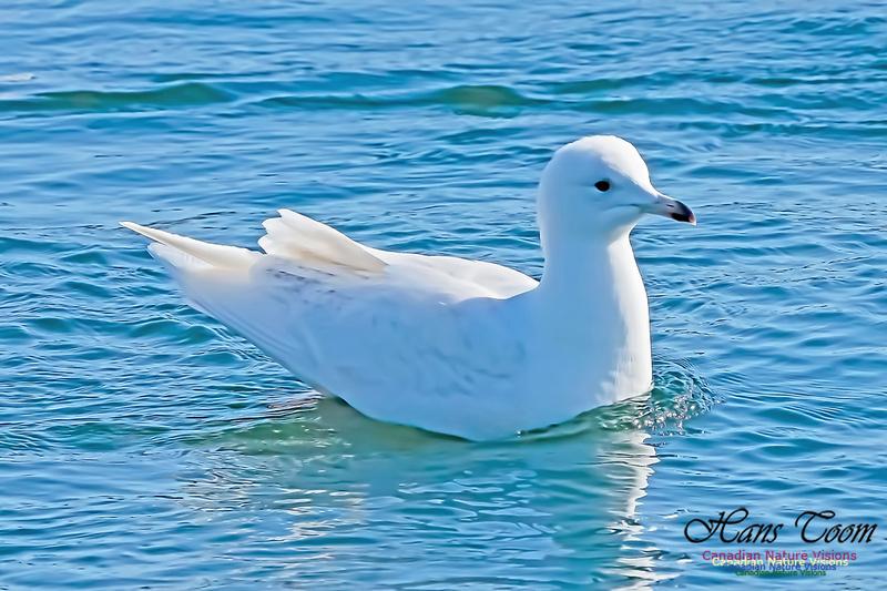 Iceland Gull 200