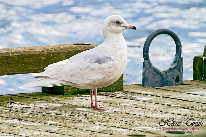 Iceland Gull 201