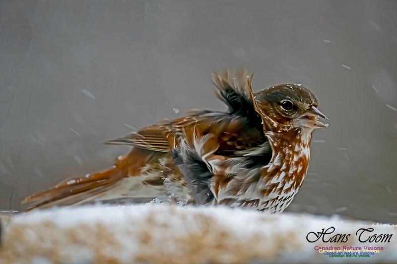 Fox Sparrow 108