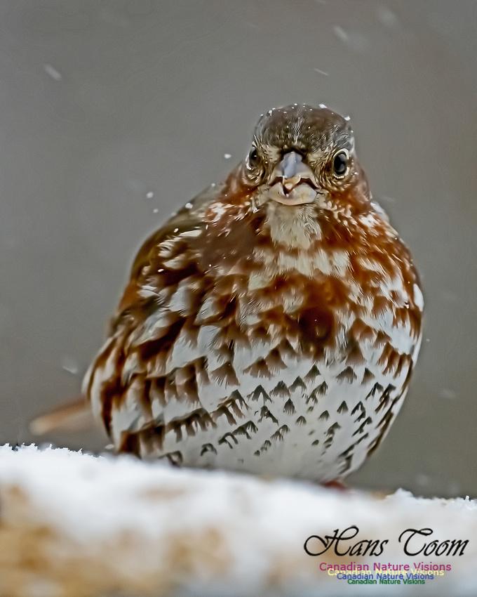 Fox Sparrow 106