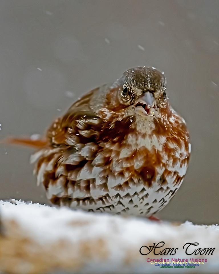 Fox Sparrow 107