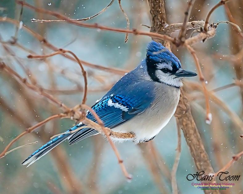 Blue Jay 106