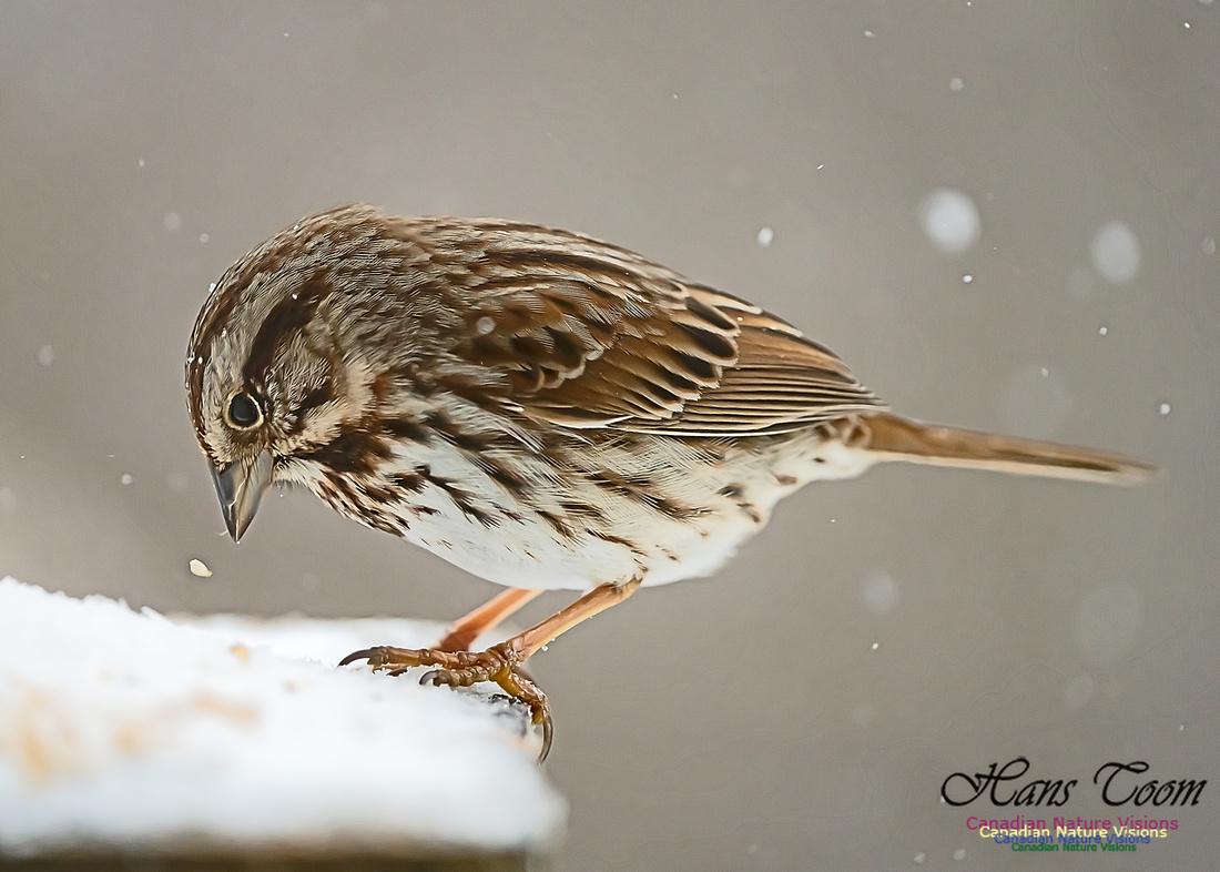 Song Sparrow 100