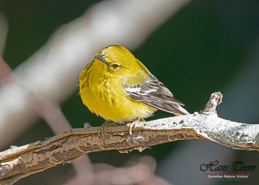 Pine Warbler 212