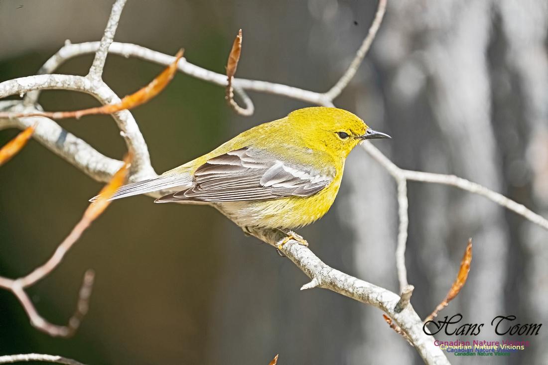 Pine Warbler 214