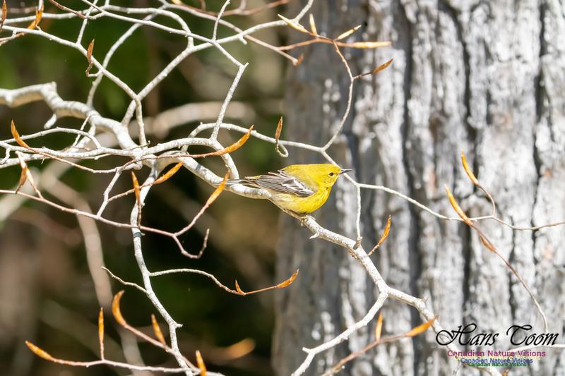 Pine Warbler 215