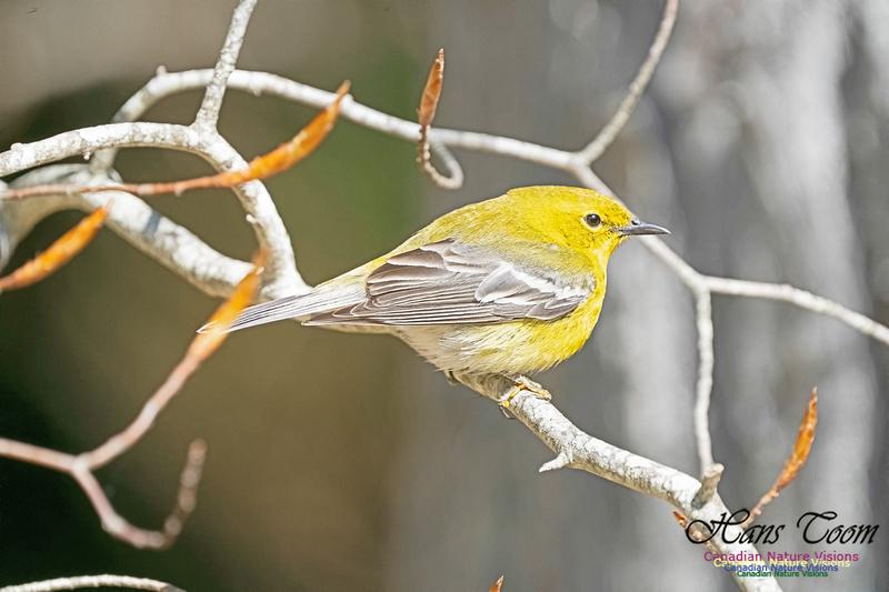 Pine Warbler 216