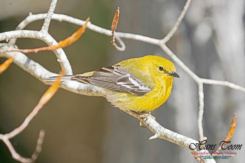 Pine Warbler 218