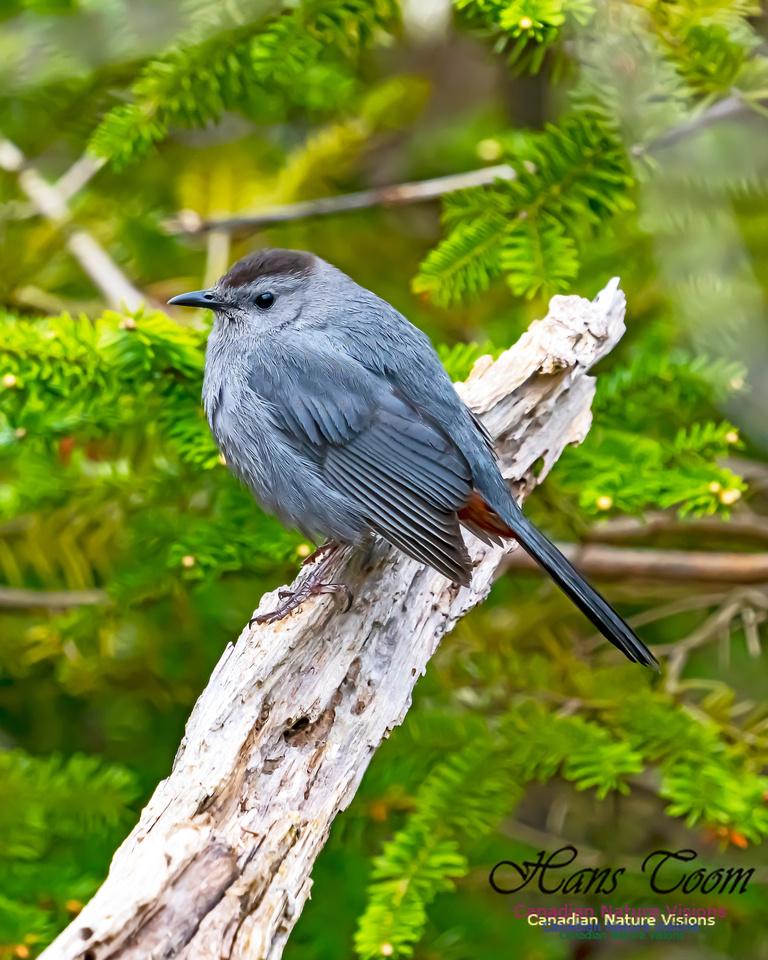 Grey Catbird 202