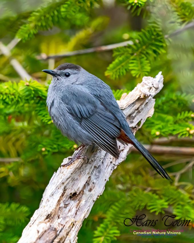 Grey Catbird 200