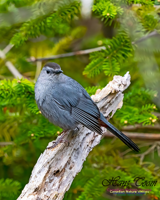 Grey Catbird 204