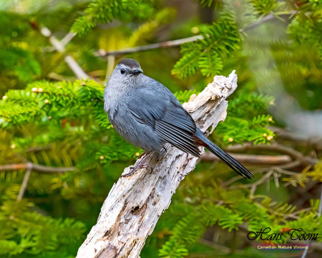 Grey Catbird 205