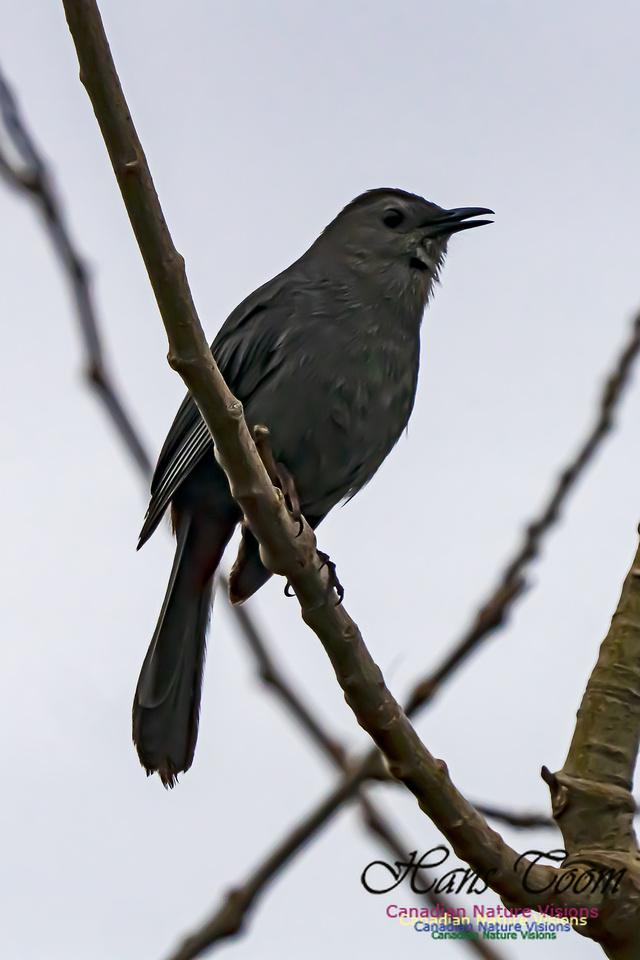 Grey Catbird 206
