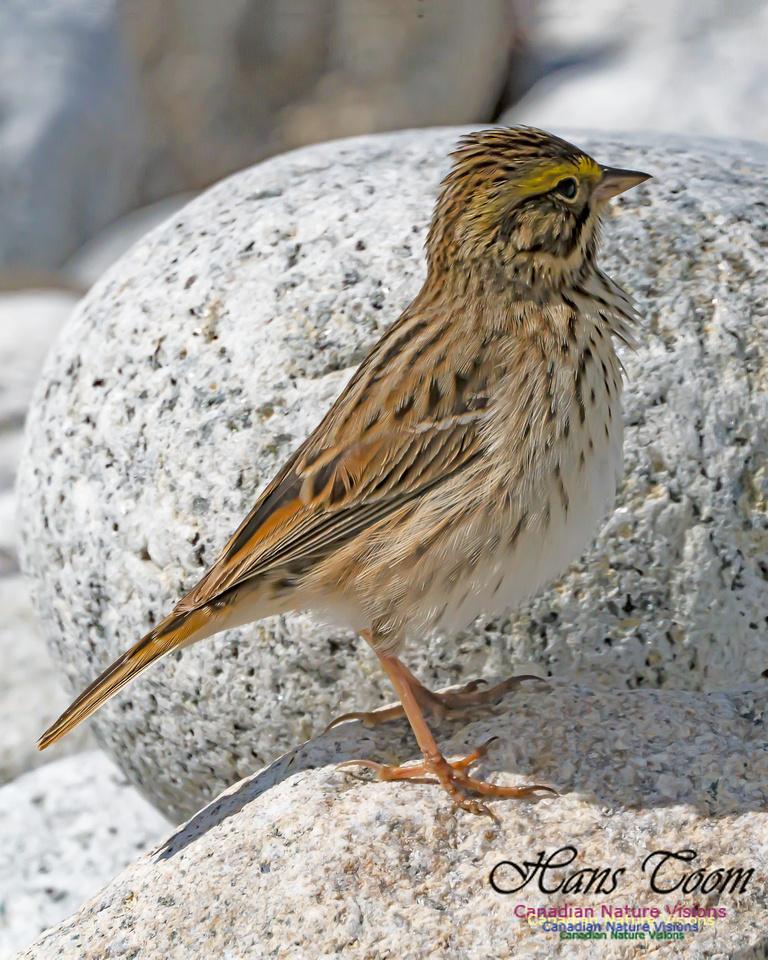 Ipswich Sparrow 103
