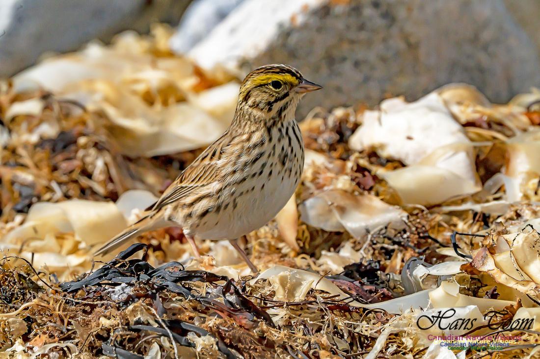 Ipswich Sparrow 107