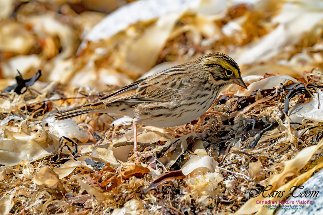 Ipswich Sparrow 108