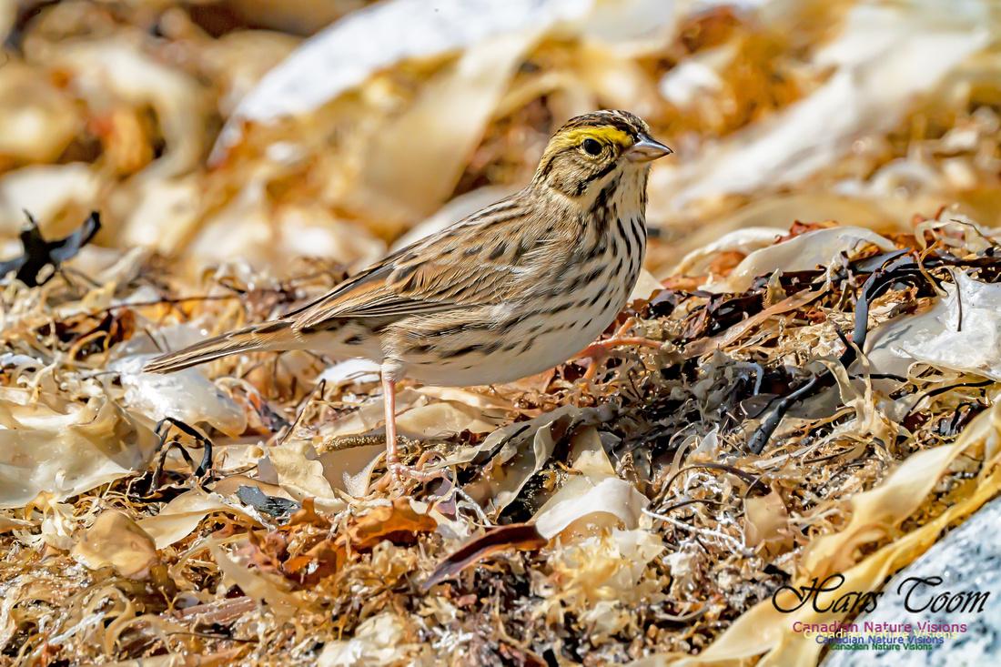 Ipswich Sparrow 109