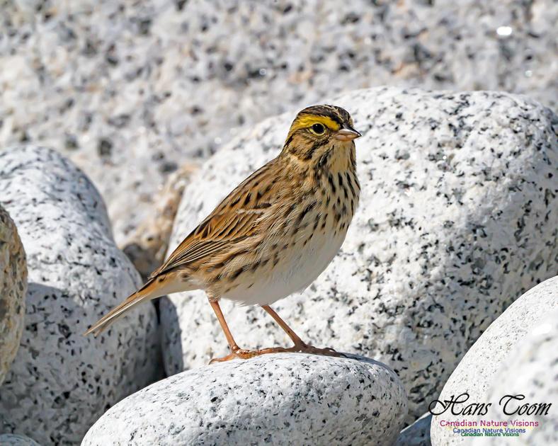Ipswich Sparrow 106
