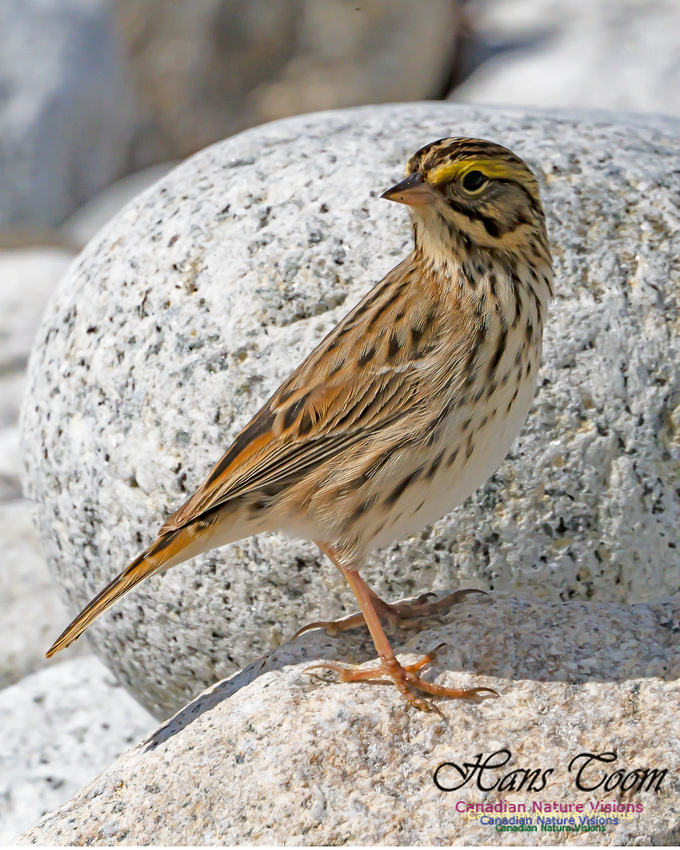 Ipswich Sparrow 102
