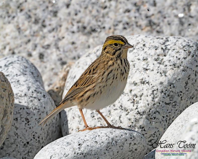 Ipswich Sparrow 104