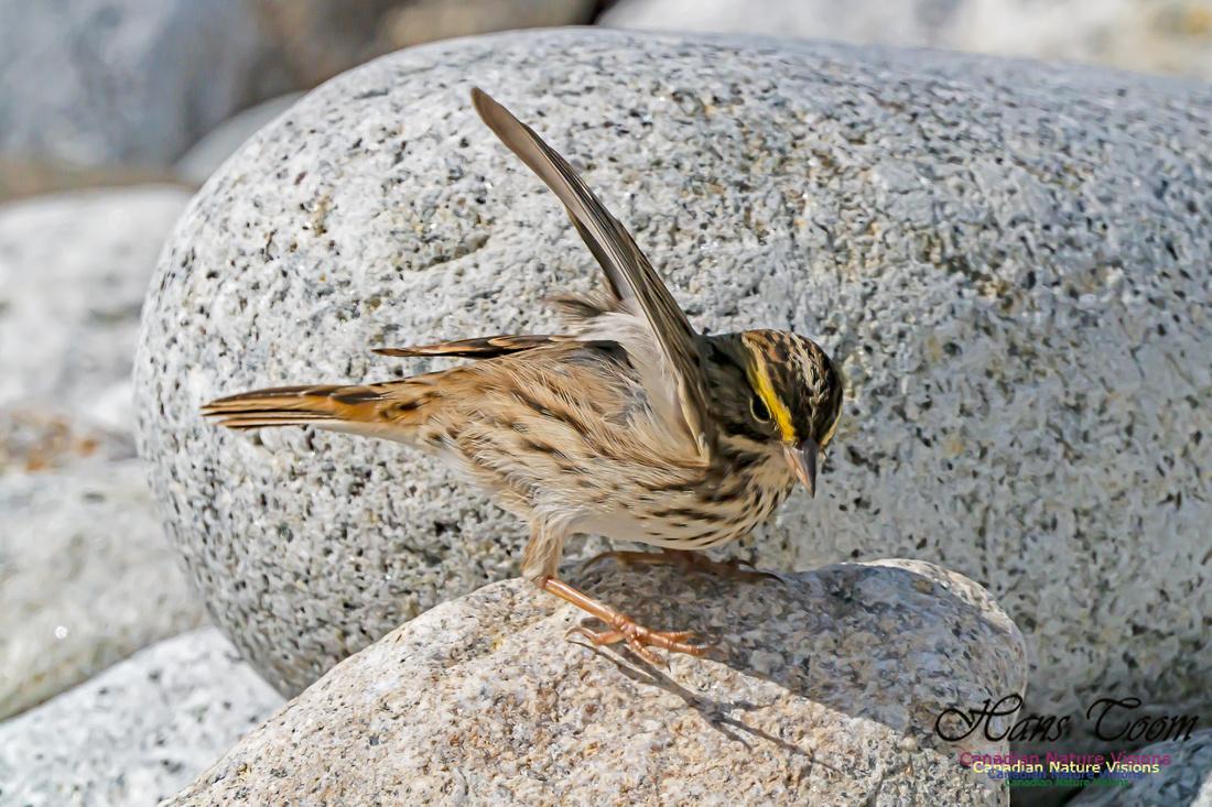 Ipswich Sparrow 101