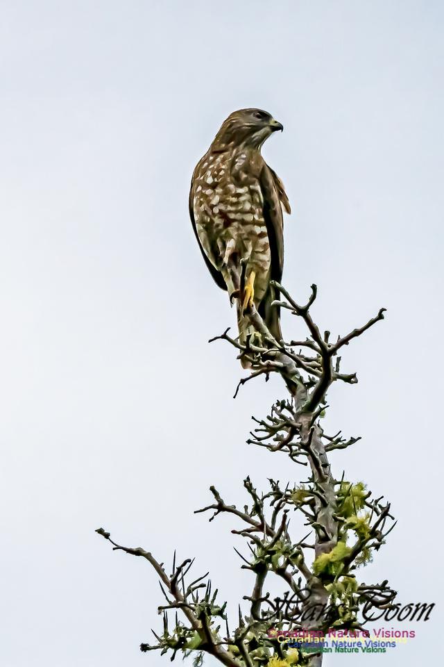 Broad-winged Hawk 103