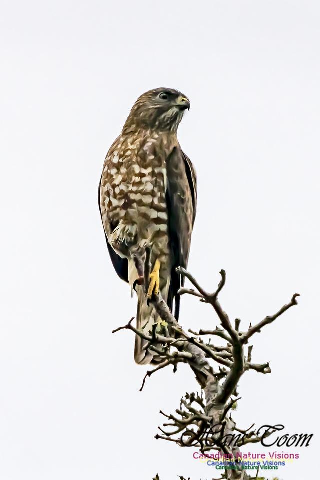 Broad-winged Hawk 101