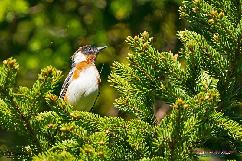Bay-breasted Warbler 106