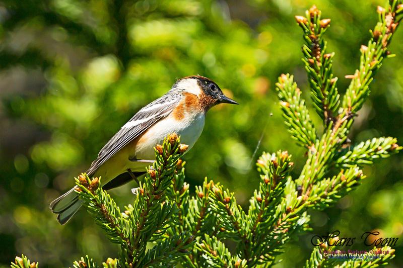 Bay-breasted Warbler 105