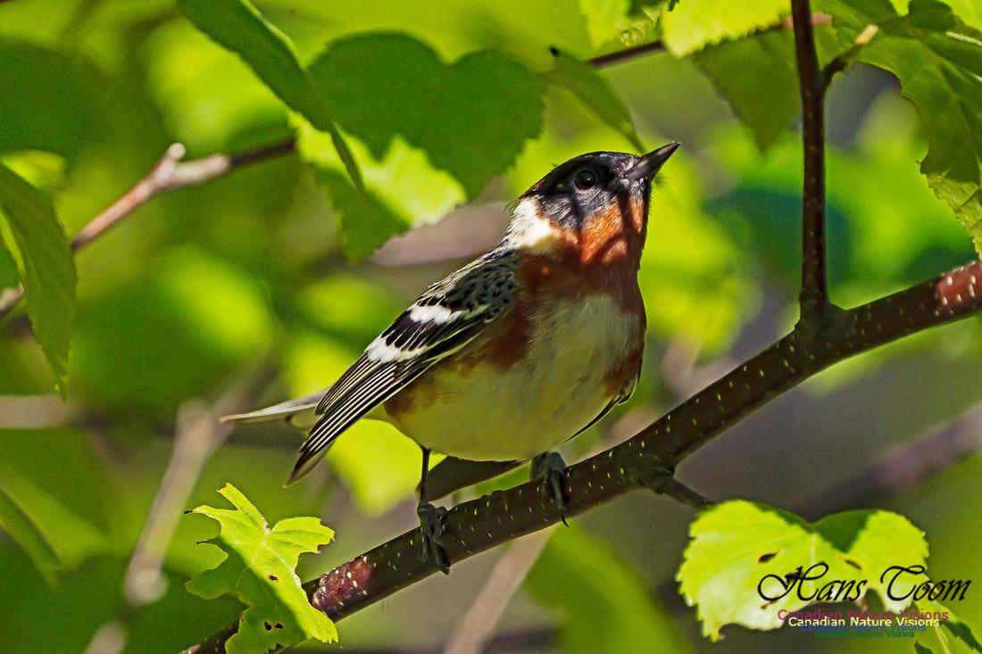 Bay-breasted Warbler 107