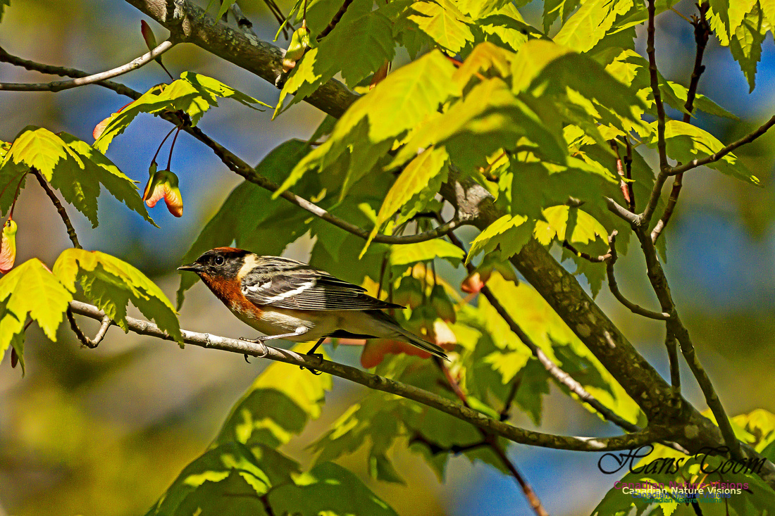 Bay-breasted Warbler 109