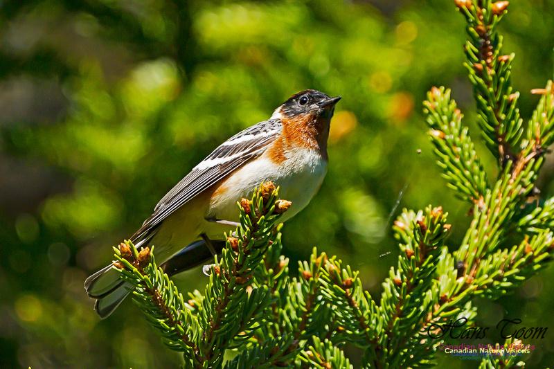 Bay-breasted Warbler 100