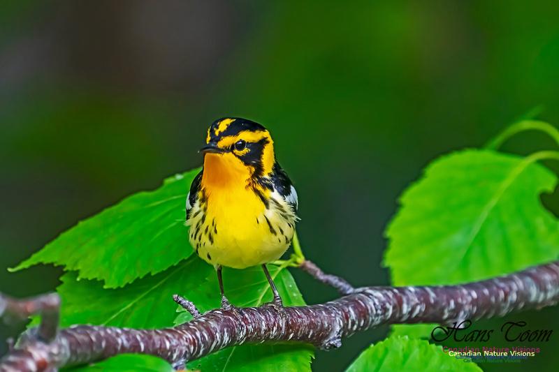 Blackburnian Warbler 106