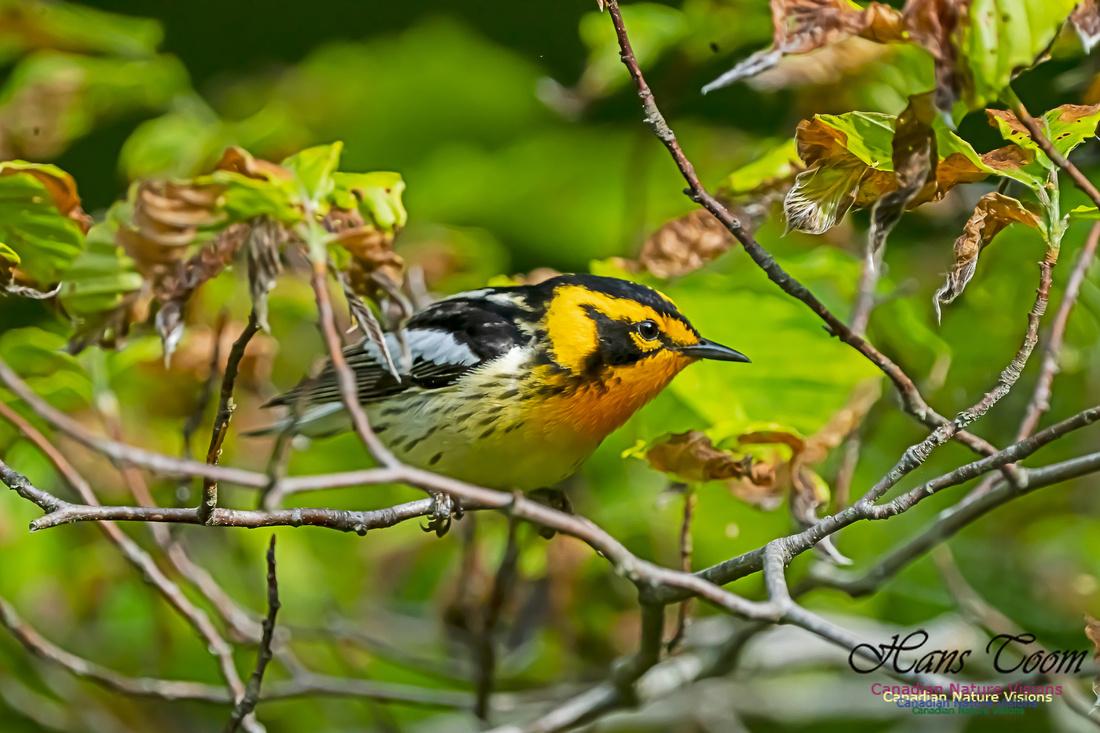 Blackburnian Warbler 100