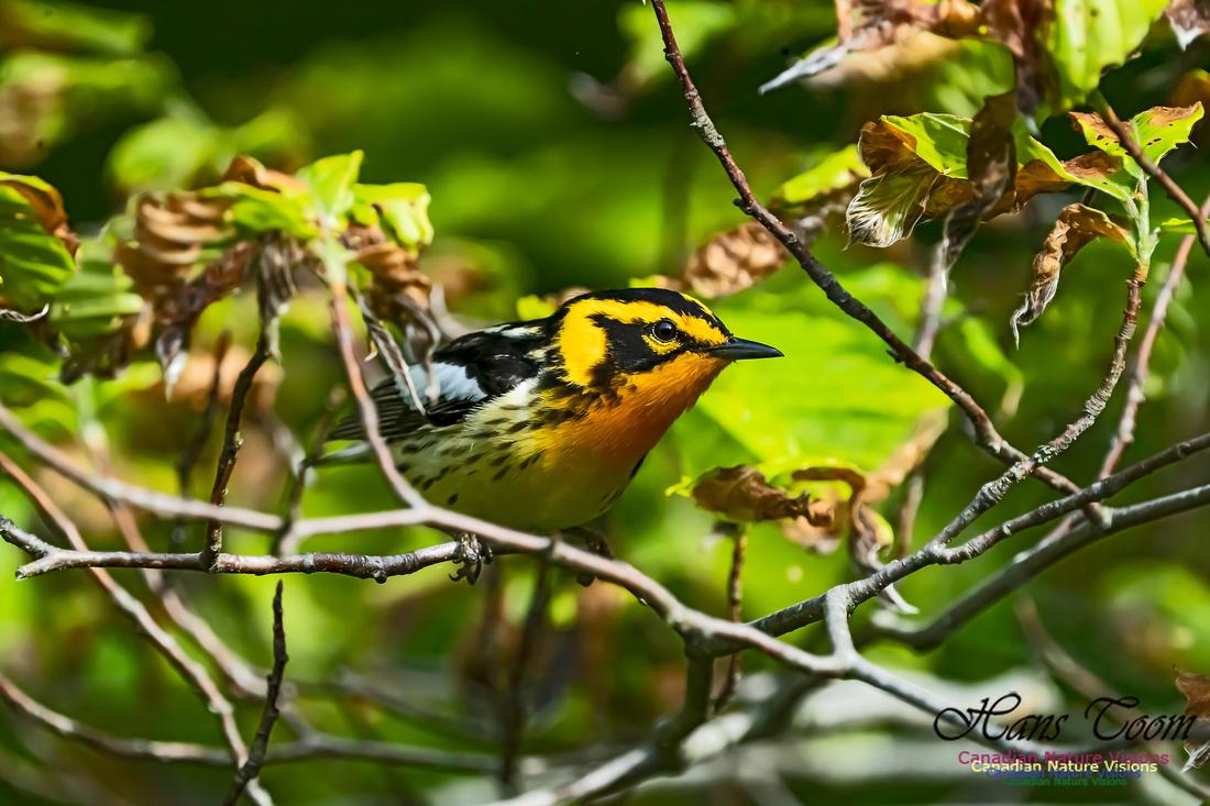 Blackburnian Warbler 101