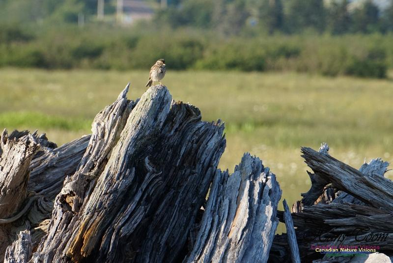 Savannah Sparrow 100