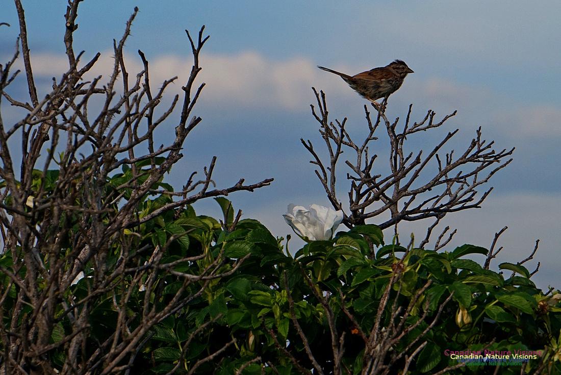 Song Sparrow 101