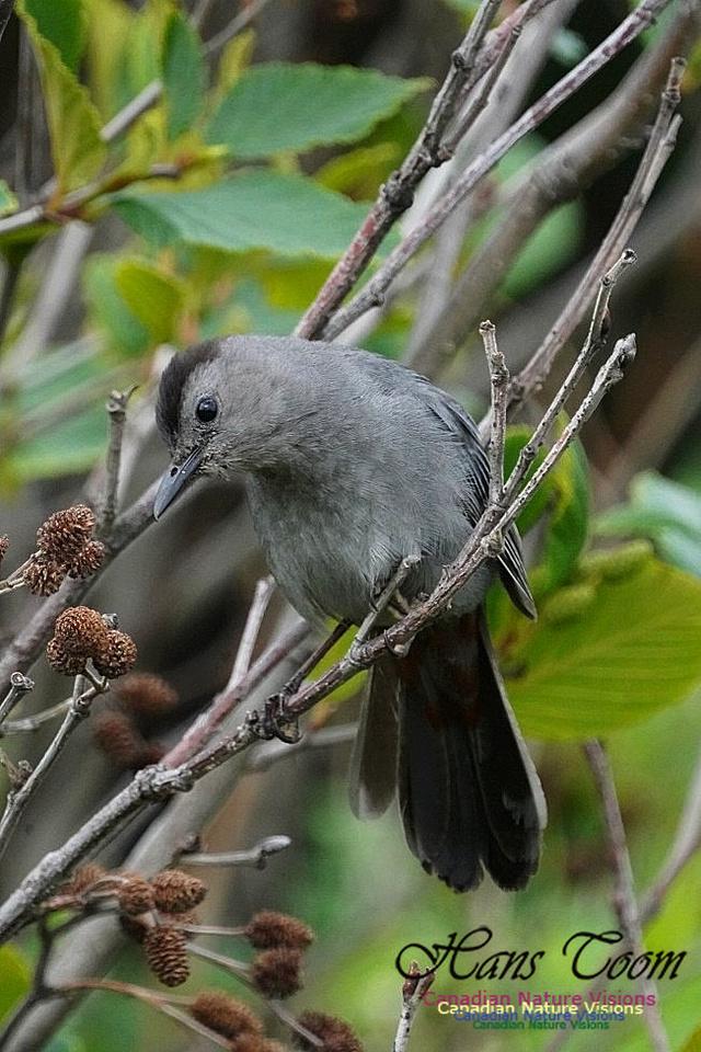Grey Catbird 102