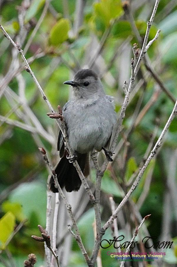 Grey Catbird 100