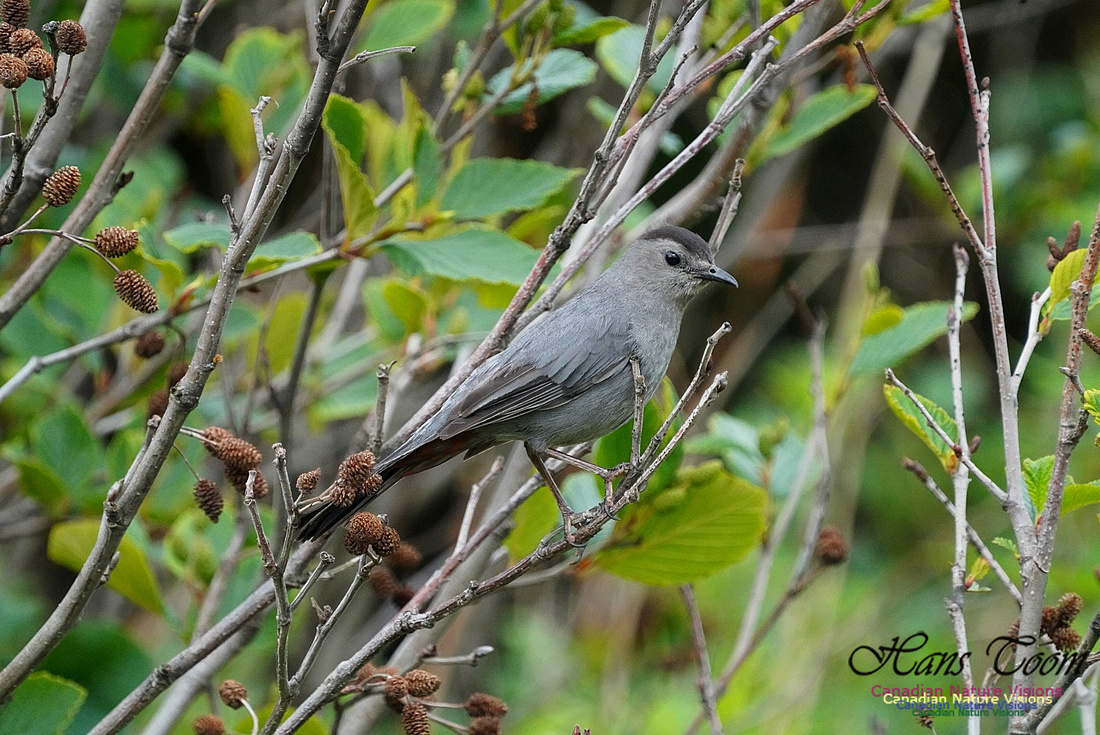 Grey Catbird 103