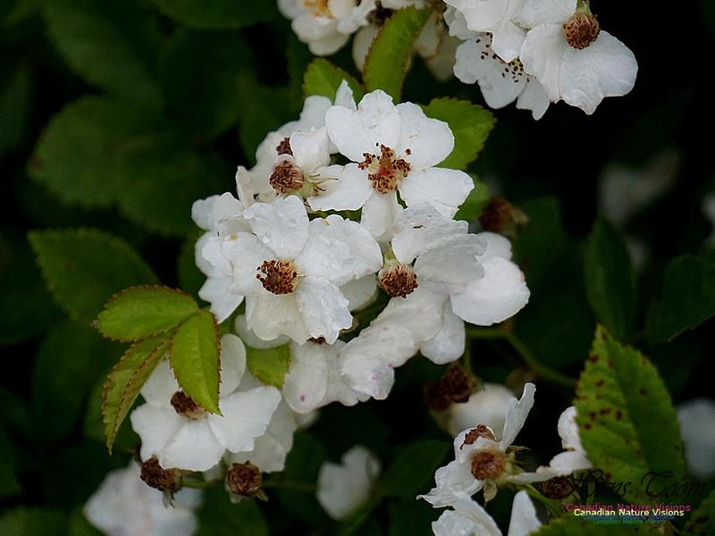 Multiflora Rose 100
