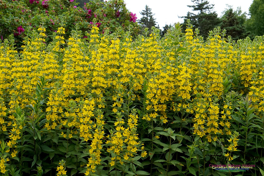 Yellow Loosestife 100