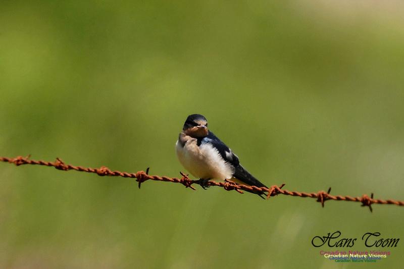 Barn Swallow 102