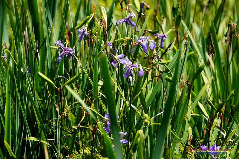 Blue Flagf Iris 100