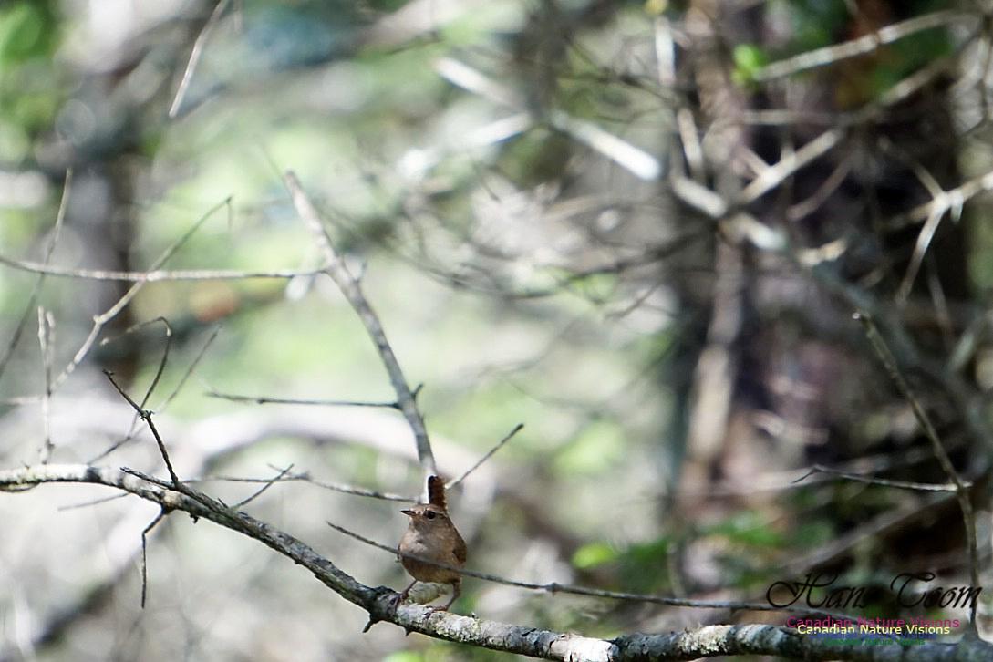 Winter Wren 100