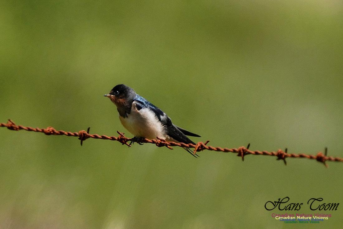 Barn Swallow 101