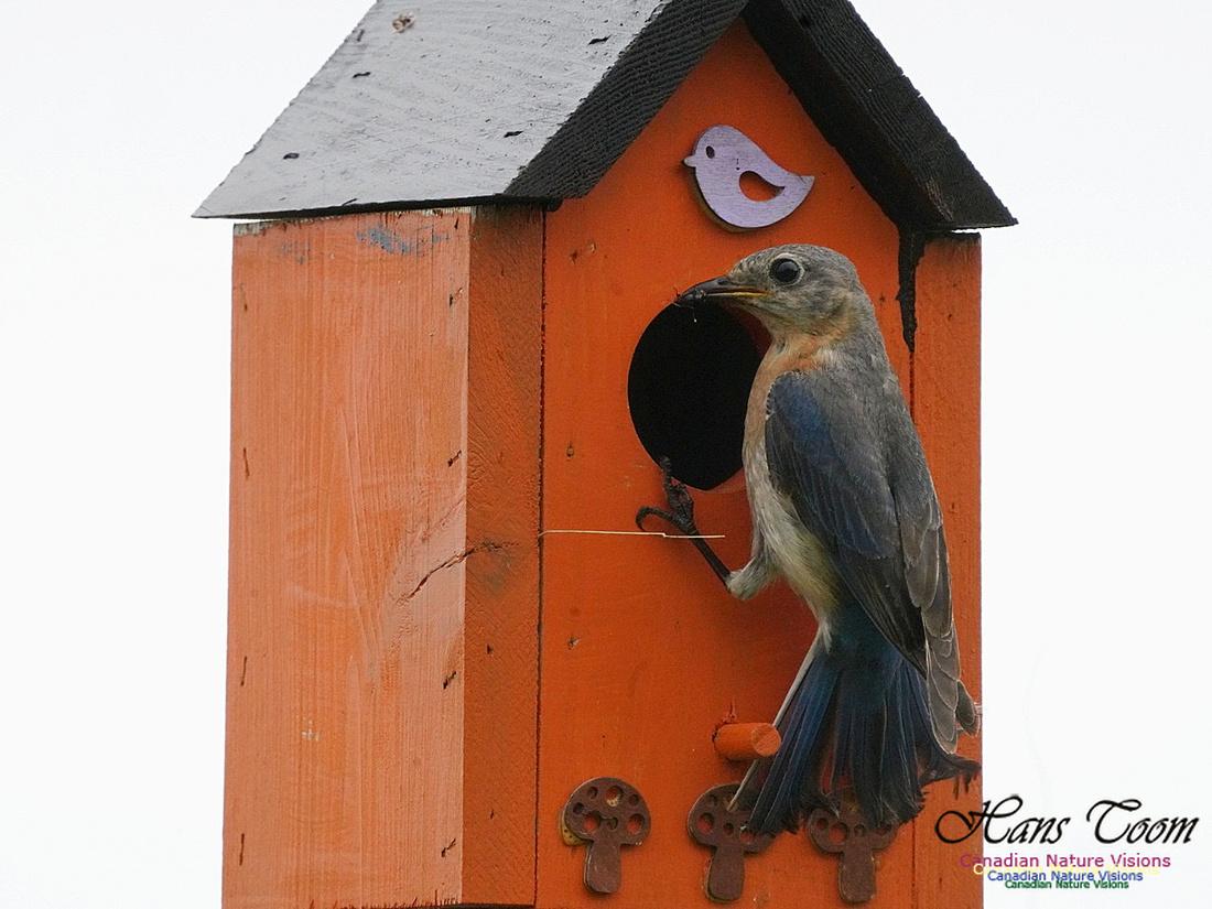 Eastern Bluebird 102
