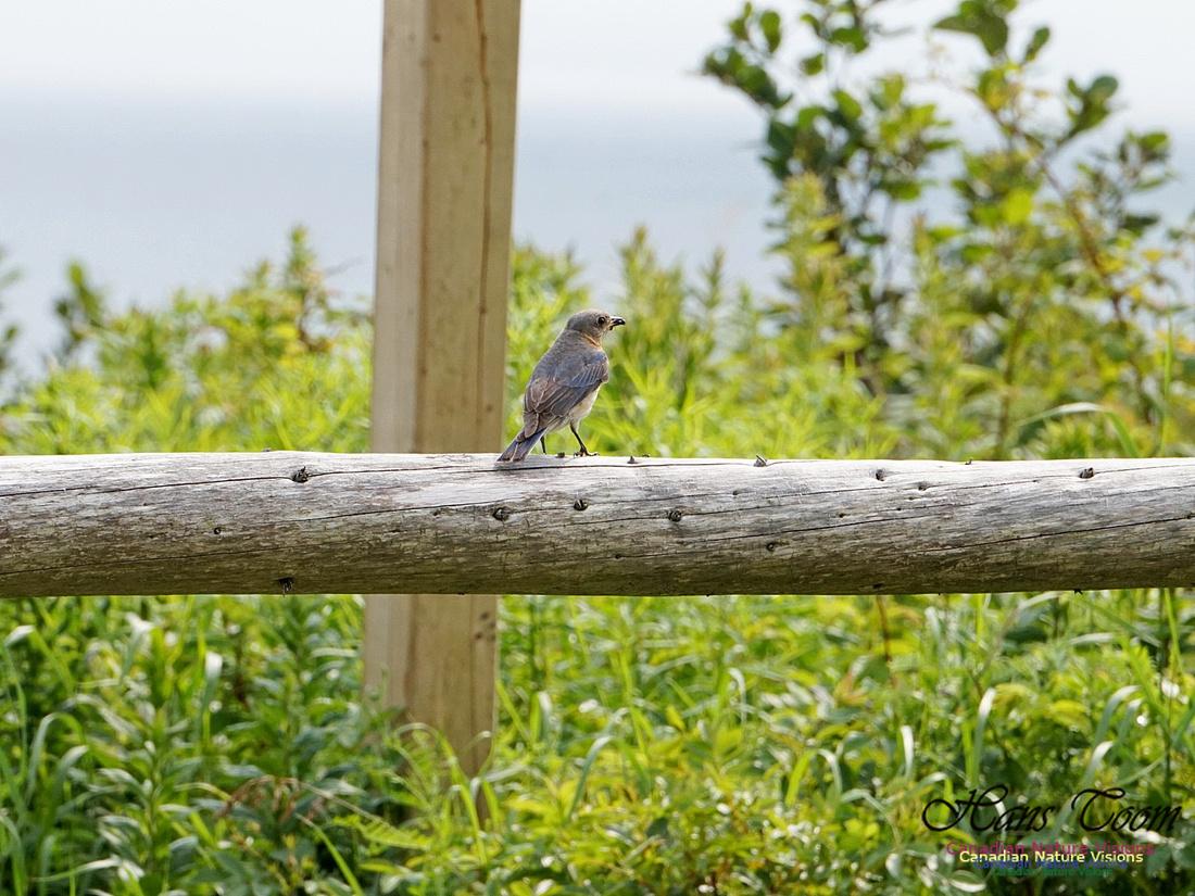 Eastern Bluebird 107