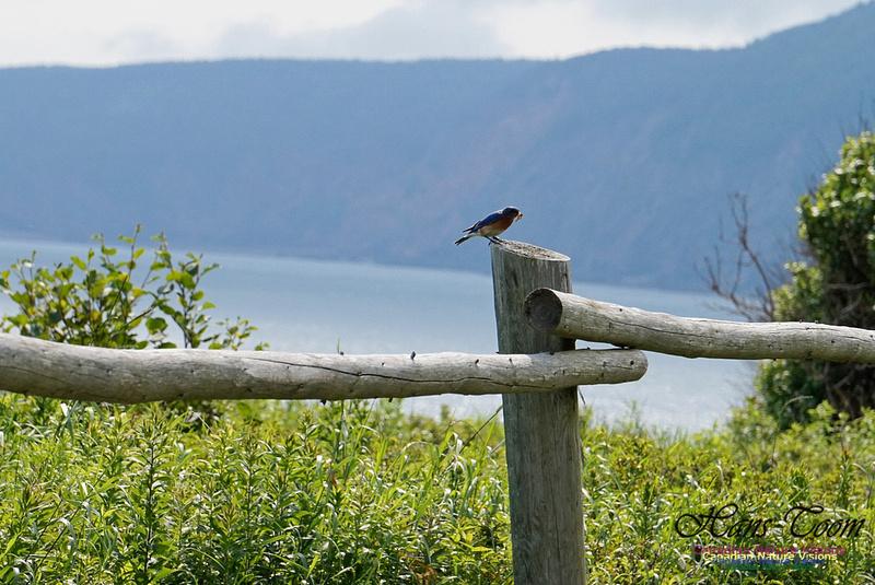 Eastern Bluebird 106