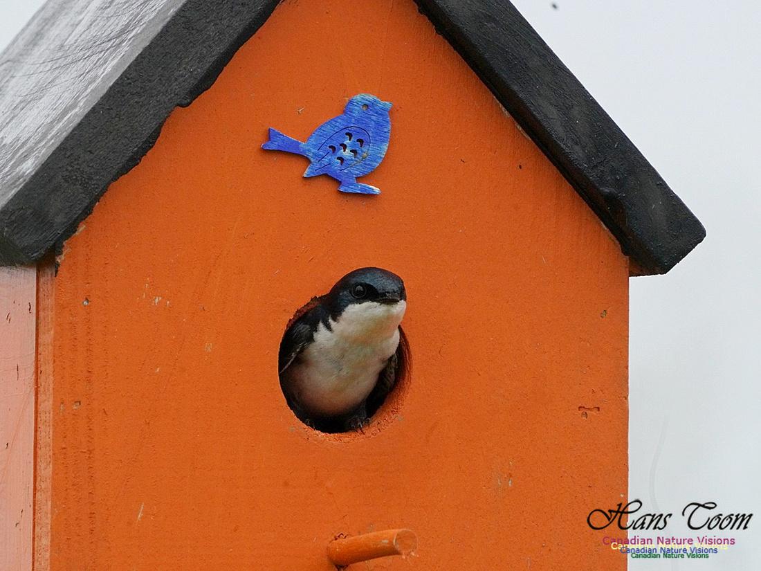 Tree Swallow 100